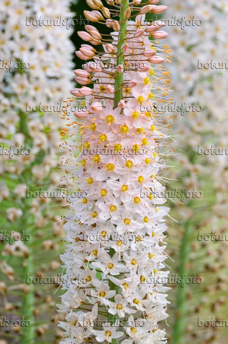 bild steppenkerze eremurus 473013 bilder und videos von pflanzen und g rten botanikfoto. Black Bedroom Furniture Sets. Home Design Ideas