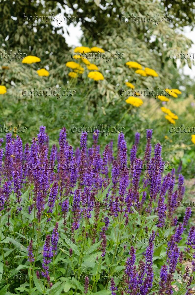 bilder schafgarbe 2 bilder und videos von pflanzen und g rten botanikfoto. Black Bedroom Furniture Sets. Home Design Ideas