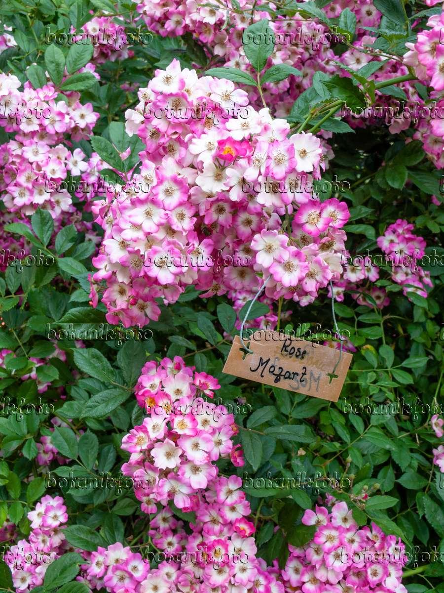 bild strauchrose rosa mozart 461100 bilder und videos von pflanzen und g rten botanikfoto. Black Bedroom Furniture Sets. Home Design Ideas