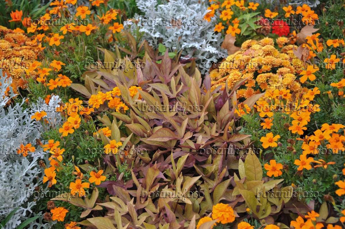 bilder tropische bl ten 24 bilder und videos von pflanzen und g rten botanikfoto. Black Bedroom Furniture Sets. Home Design Ideas