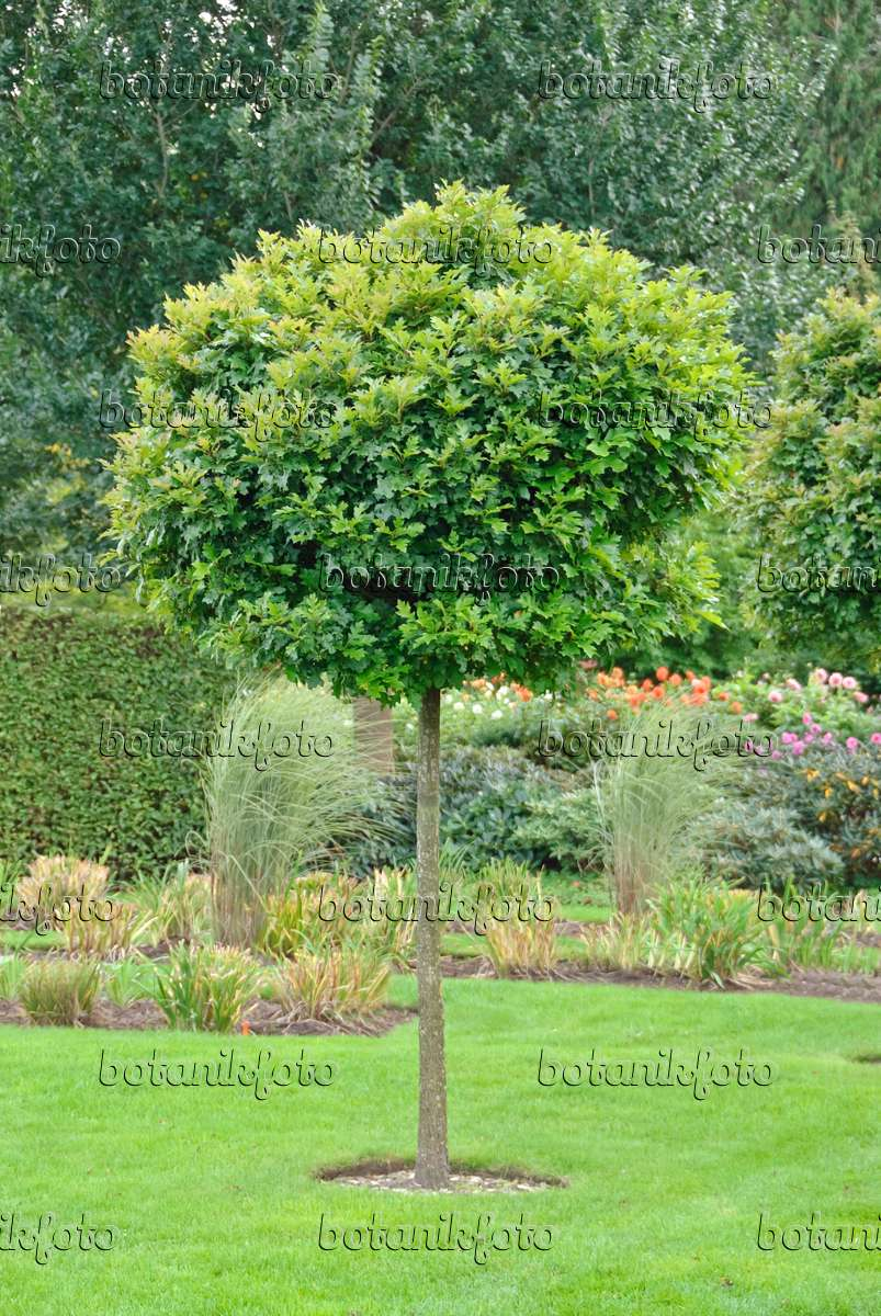 bild sumpfeiche quercus palustris 39 green dwarf 39 502391. Black Bedroom Furniture Sets. Home Design Ideas