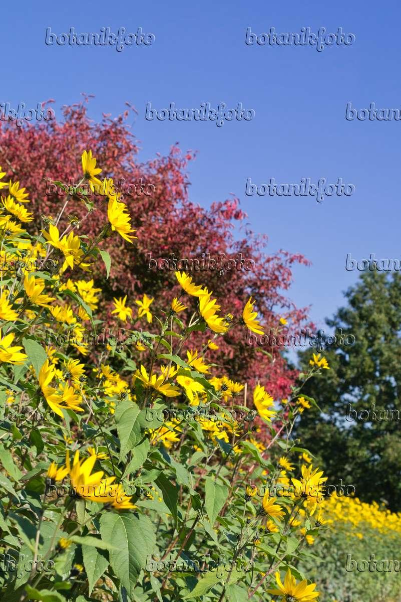 bild topinambur helianthus tuberosus 549169 bilder und videos von pflanzen und g rten. Black Bedroom Furniture Sets. Home Design Ideas