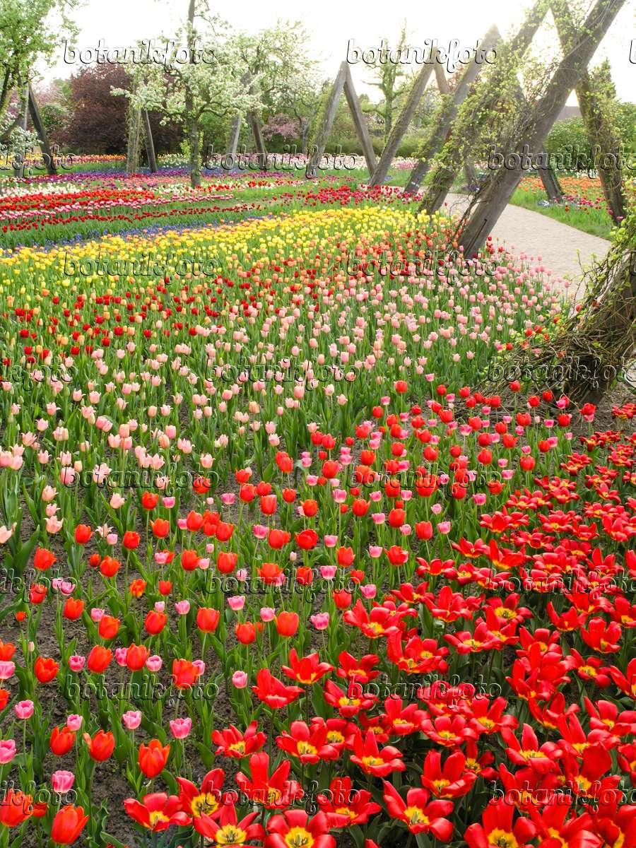 bild tulipan britzer garten berlin deutschland 425013 bilder und videos von pflanzen und. Black Bedroom Furniture Sets. Home Design Ideas