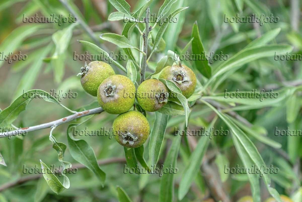 bild weidenbl ttrige birne pyrus salicifolia 547264. Black Bedroom Furniture Sets. Home Design Ideas