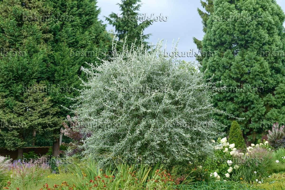 bild weidenbl ttrige birne pyrus salicifolia 39 pendula. Black Bedroom Furniture Sets. Home Design Ideas