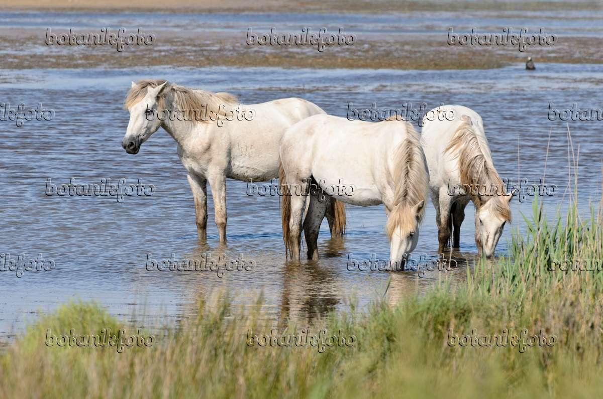 Bild Weiße Pferde Camargue Frankreich 557264 Bilder Und Videos