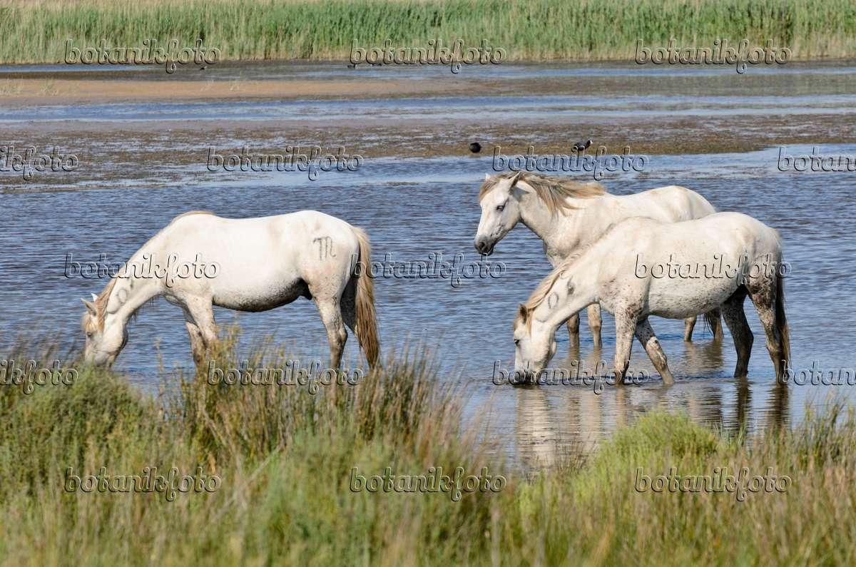 Bild Weiße Pferde Camargue Frankreich 557266 Bilder Und Videos