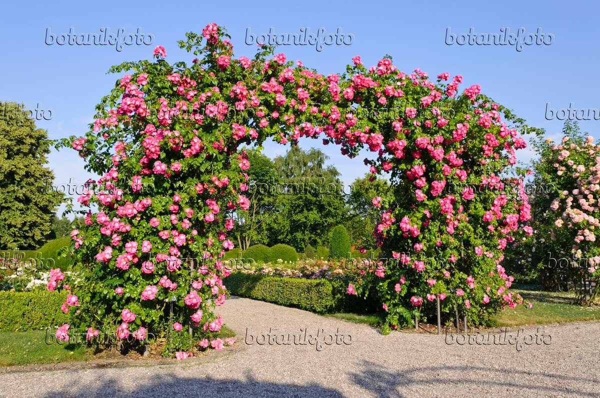 Klettergerüst Rosen : Bild wichuraiana rose rosa american pillar 485202 bilder und