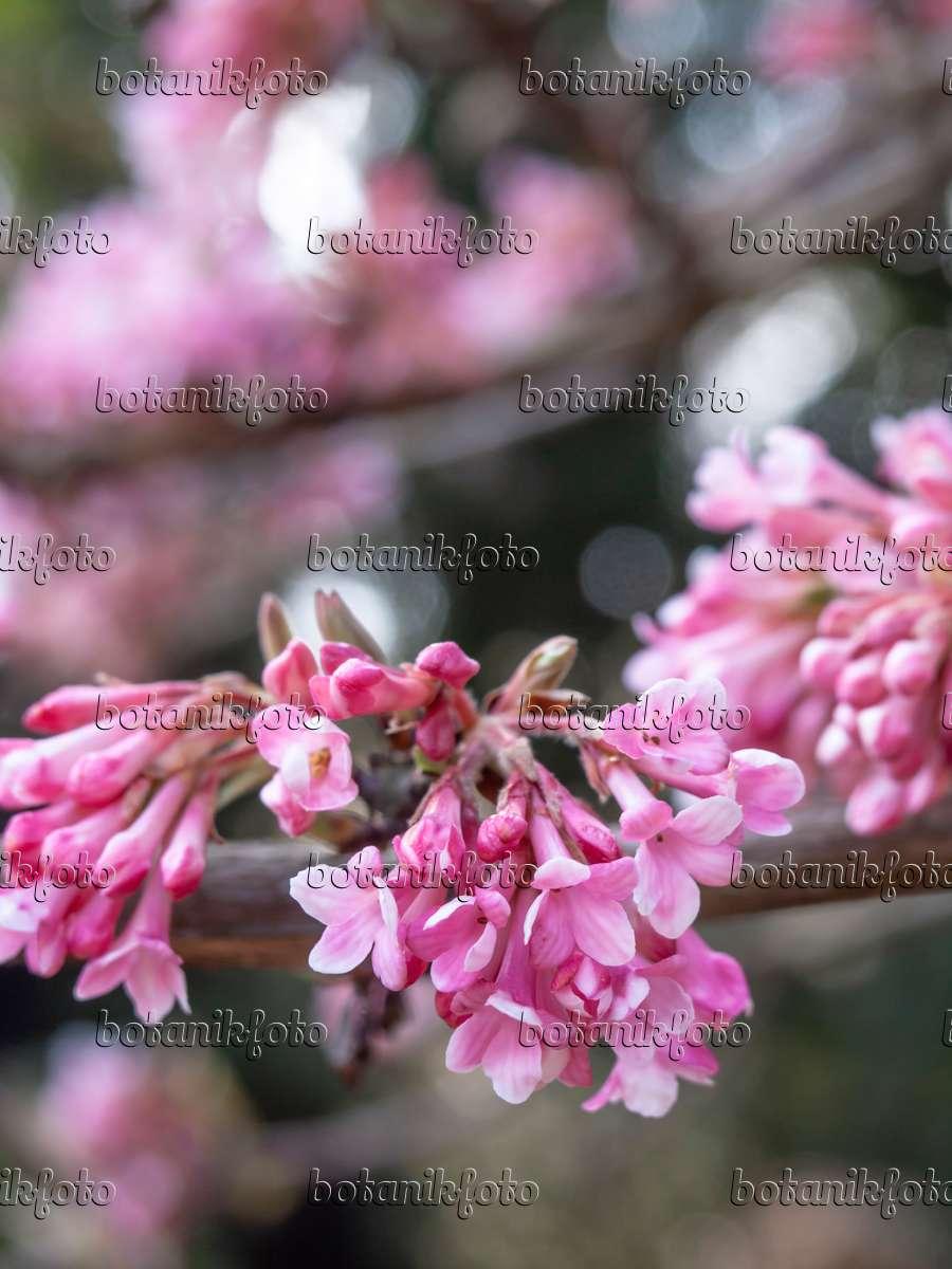 bild winterschneeball viburnum x bodnantense 39 dawn 39 436099 bilder und videos von pflanzen. Black Bedroom Furniture Sets. Home Design Ideas