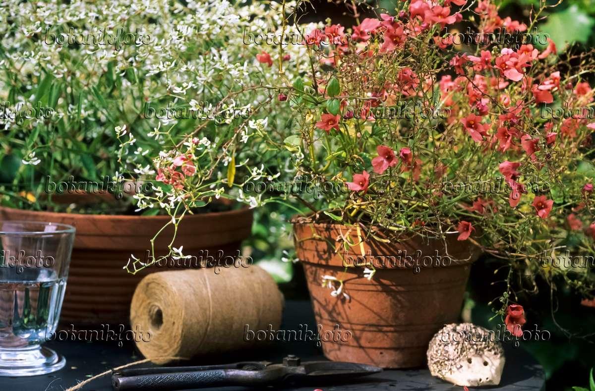 bilder elfensporn bilder und videos von pflanzen und g rten botanikfoto. Black Bedroom Furniture Sets. Home Design Ideas