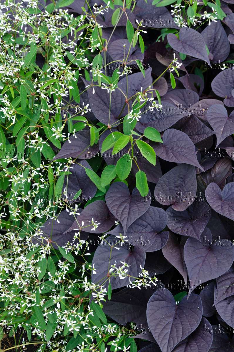 bild wolfsmilch euphorbia hypericifolia 39 diamond frost 39 und s kartoffel ipomoea batatas. Black Bedroom Furniture Sets. Home Design Ideas