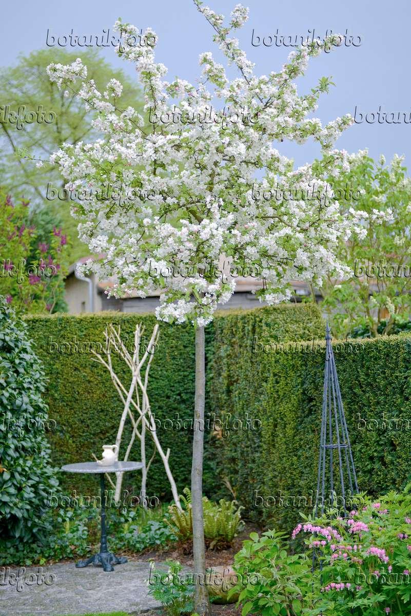bild zierapfel malus evereste 535296 bilder und videos von pflanzen und g rten botanikfoto. Black Bedroom Furniture Sets. Home Design Ideas