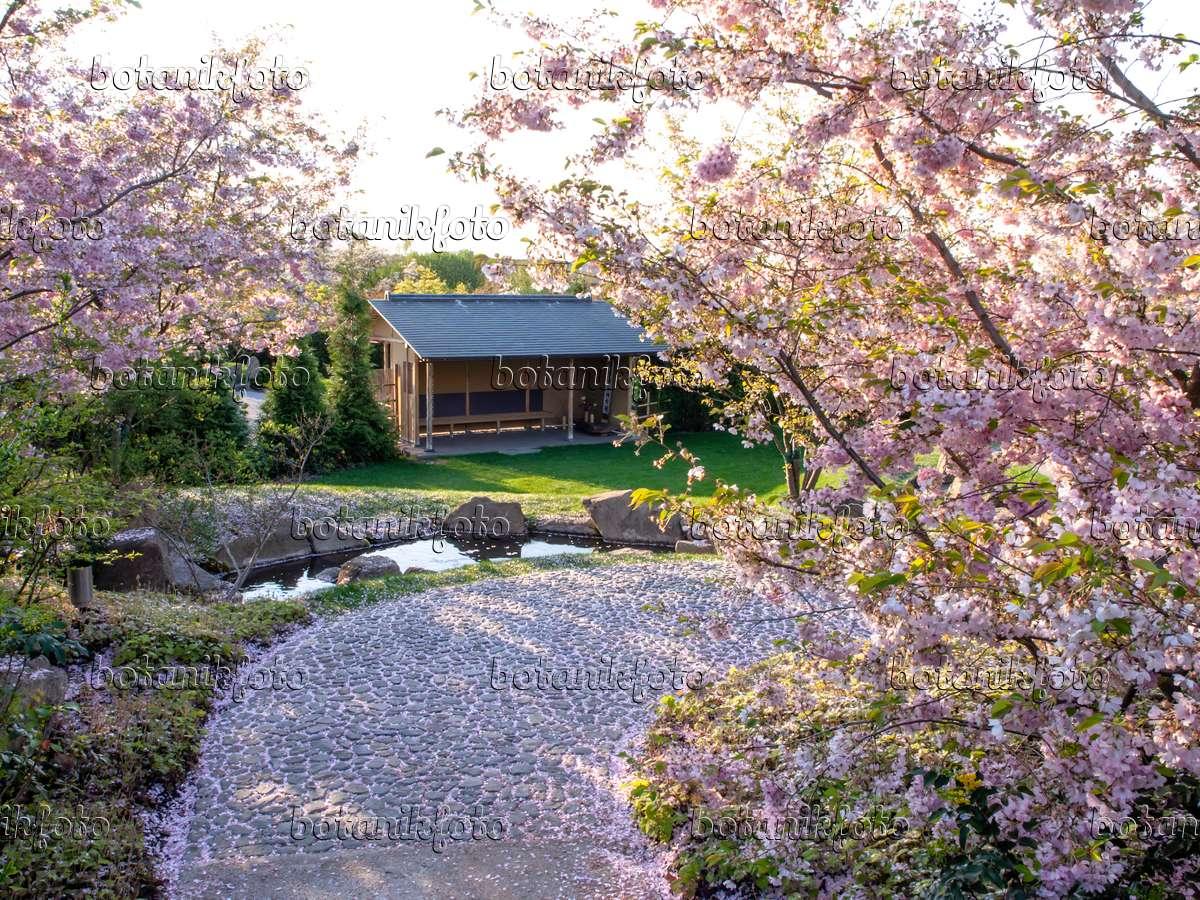 bild zierkirsche prunus subhirtella japanischer garten erholungspark marzahn berlin. Black Bedroom Furniture Sets. Home Design Ideas