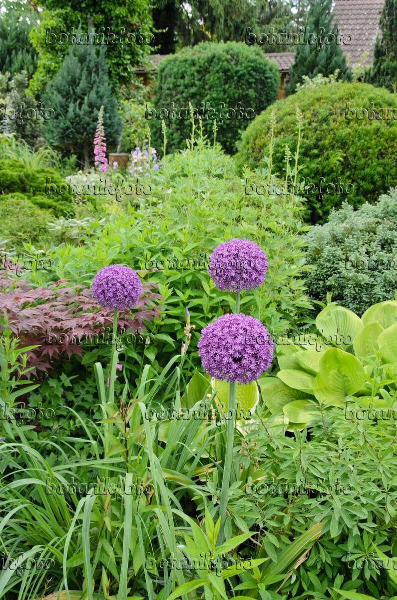 bild zierlauch allium 521083 bilder und videos von pflanzen und g rten botanikfoto. Black Bedroom Furniture Sets. Home Design Ideas
