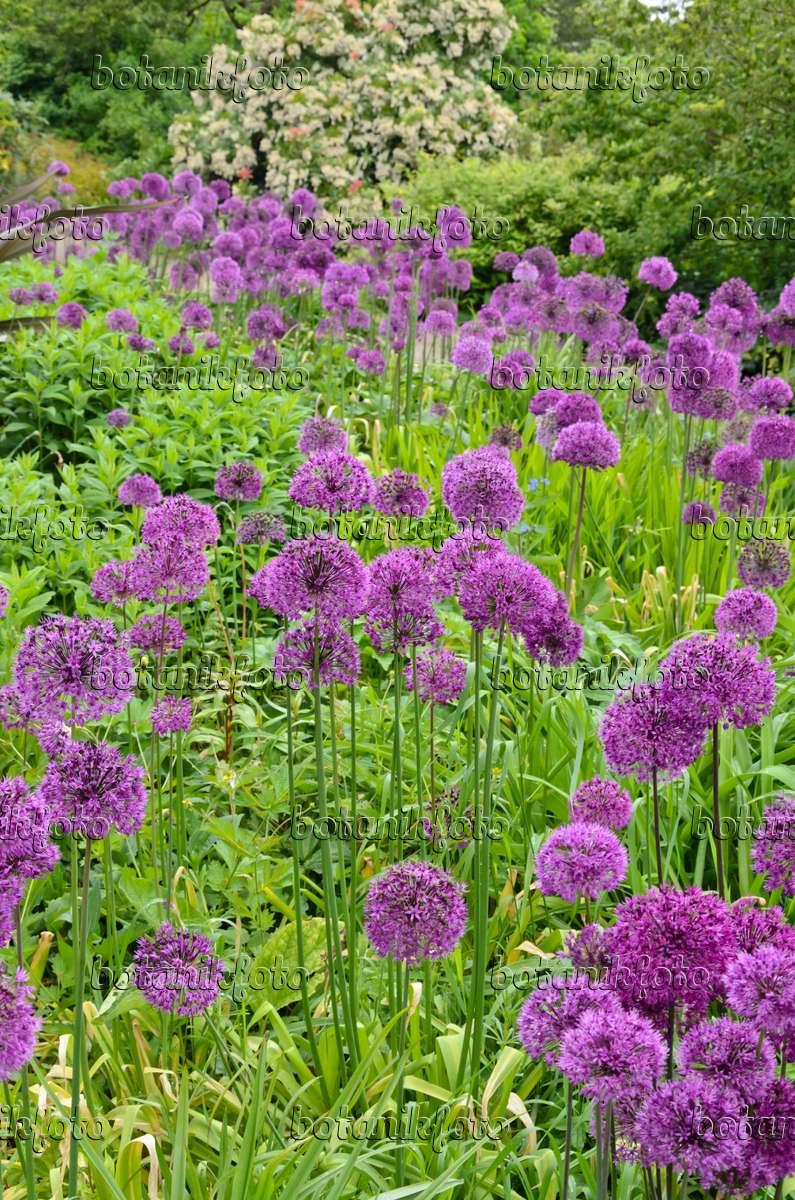 bild zierlauch allium 533477 bilder und videos von pflanzen und g rten botanikfoto. Black Bedroom Furniture Sets. Home Design Ideas