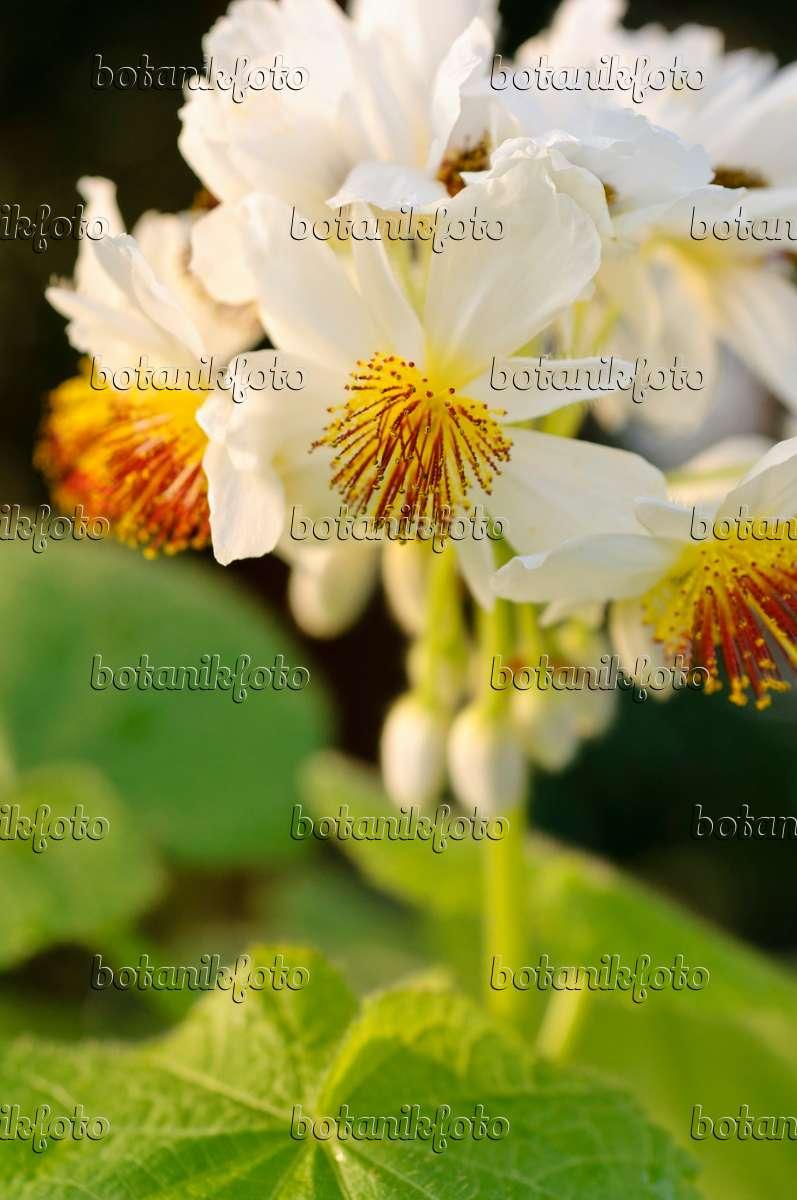 Bild zimmerlinde sparrmannia africana 480015 bilder und videos von pflanzen und g rten - Zimmerlinde bilder ...