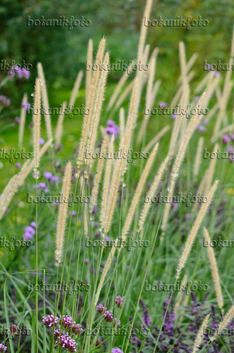 african grass