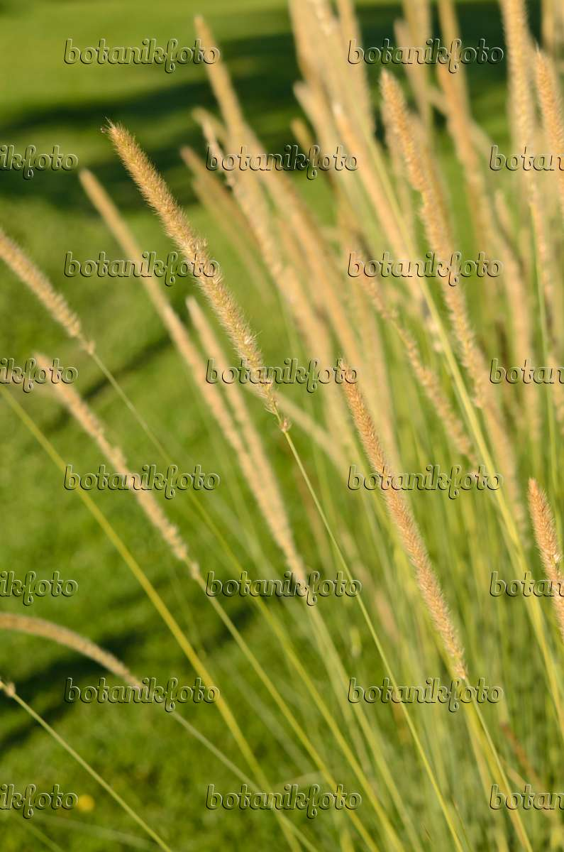 Images Grasses 7 - Images and videos of plants and gardens ...