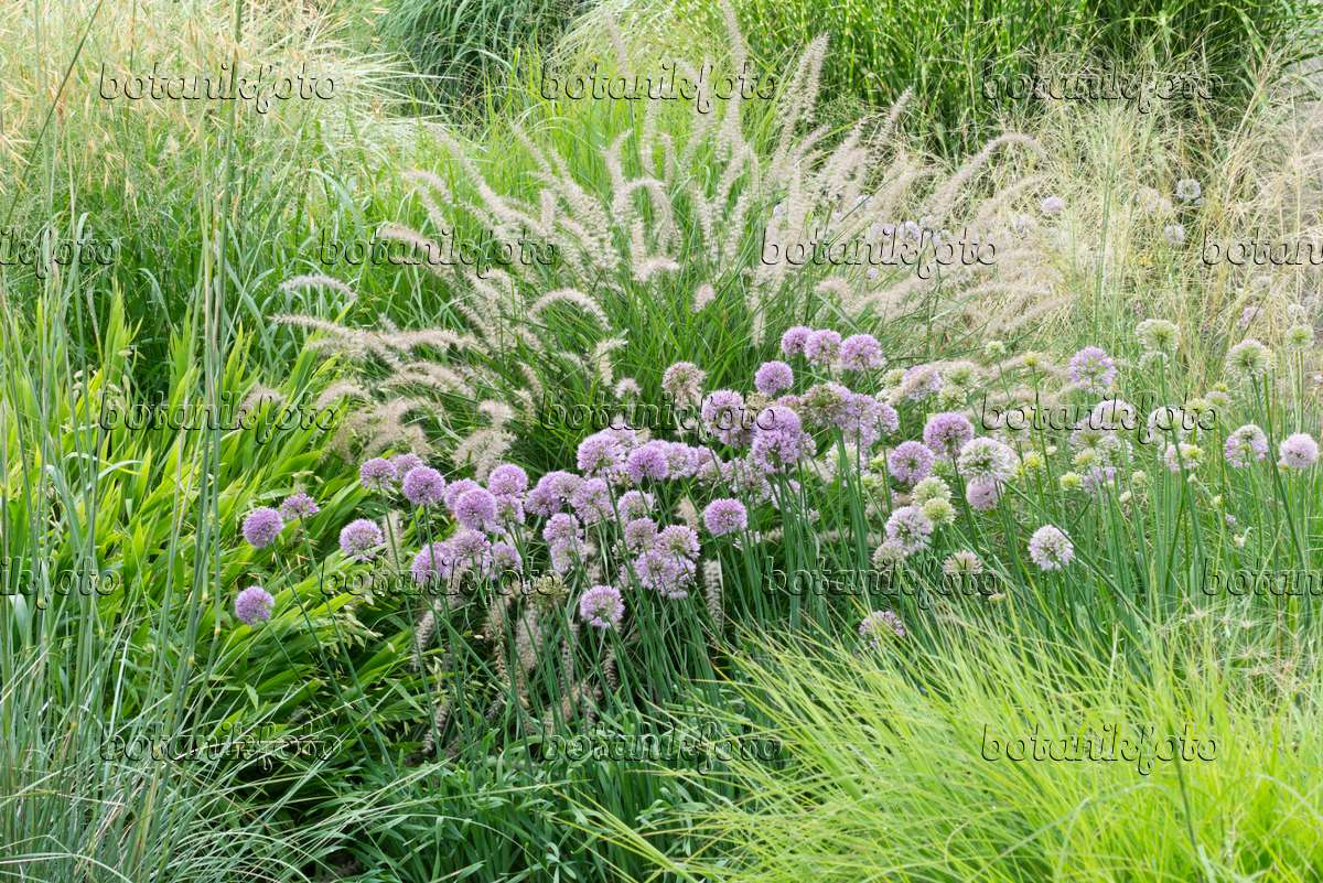 image allium sacculiferum syn allium komarovianum and fountain grass pennisetum orientale. Black Bedroom Furniture Sets. Home Design Ideas