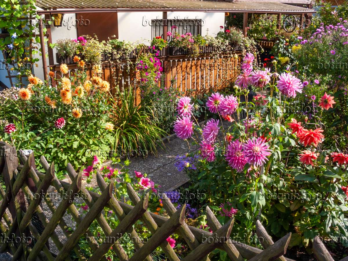 Image Allotment Garden With Dahlias 417033 Images And Videos
