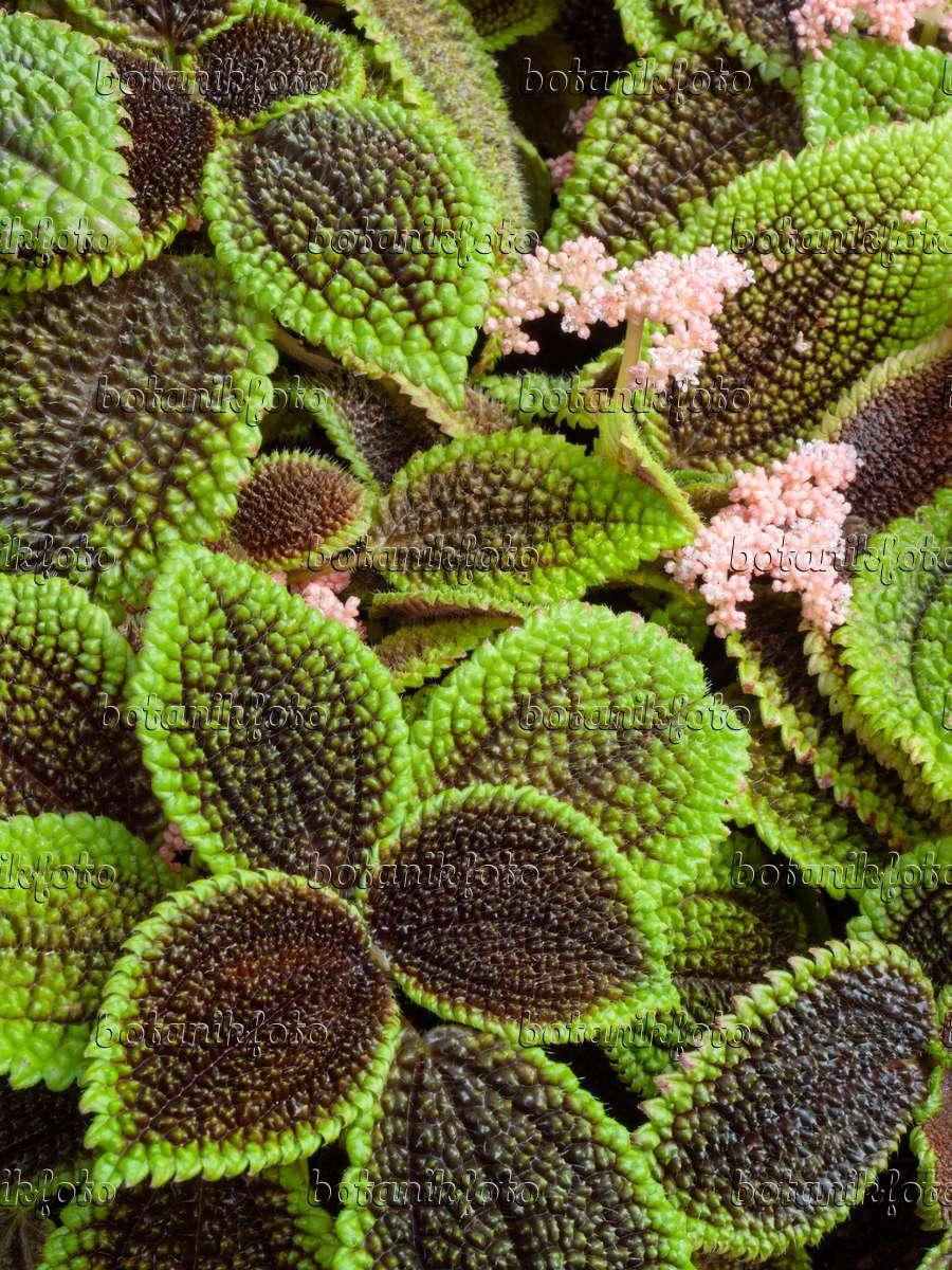 Aluminum plant for Plante pilea