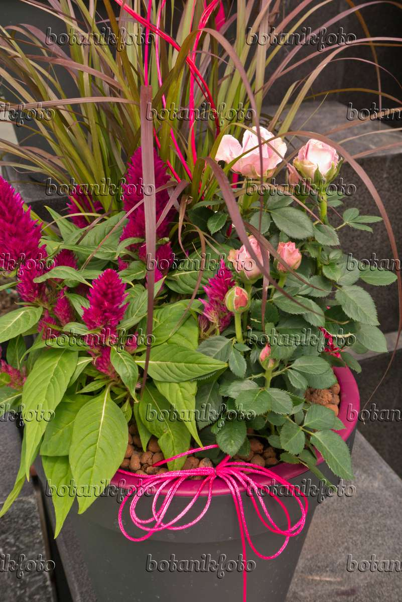 Image Amaranth (Amaranthus) and rose (Rosa) in a flower tub - 545174 ...