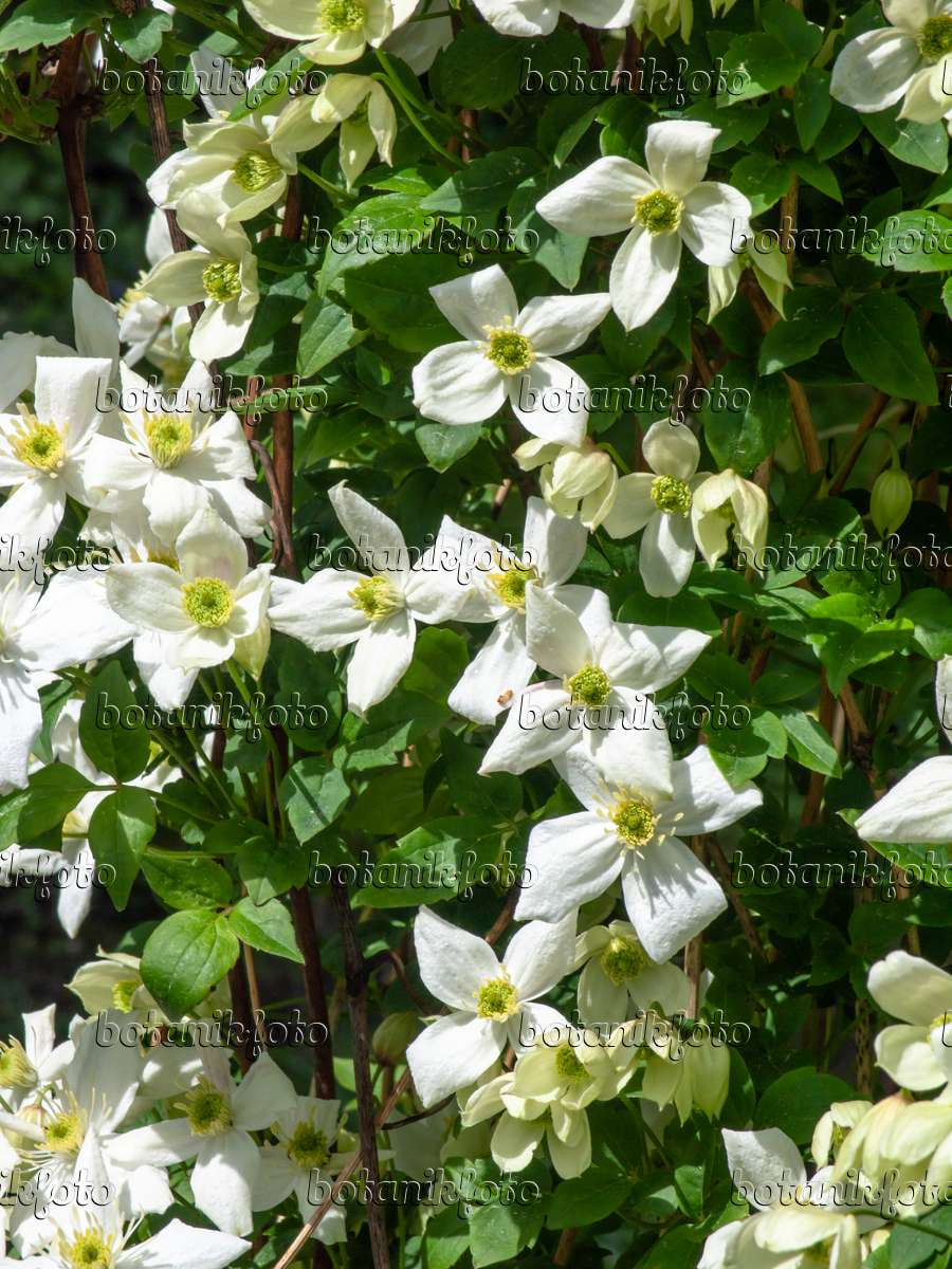 image anemone clematis clematis montana var grandiflora. Black Bedroom Furniture Sets. Home Design Ideas