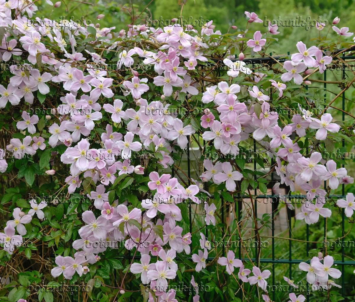 image anemone clematis clematis montana 39 tetrarose 39 454013 images and videos of plants and. Black Bedroom Furniture Sets. Home Design Ideas