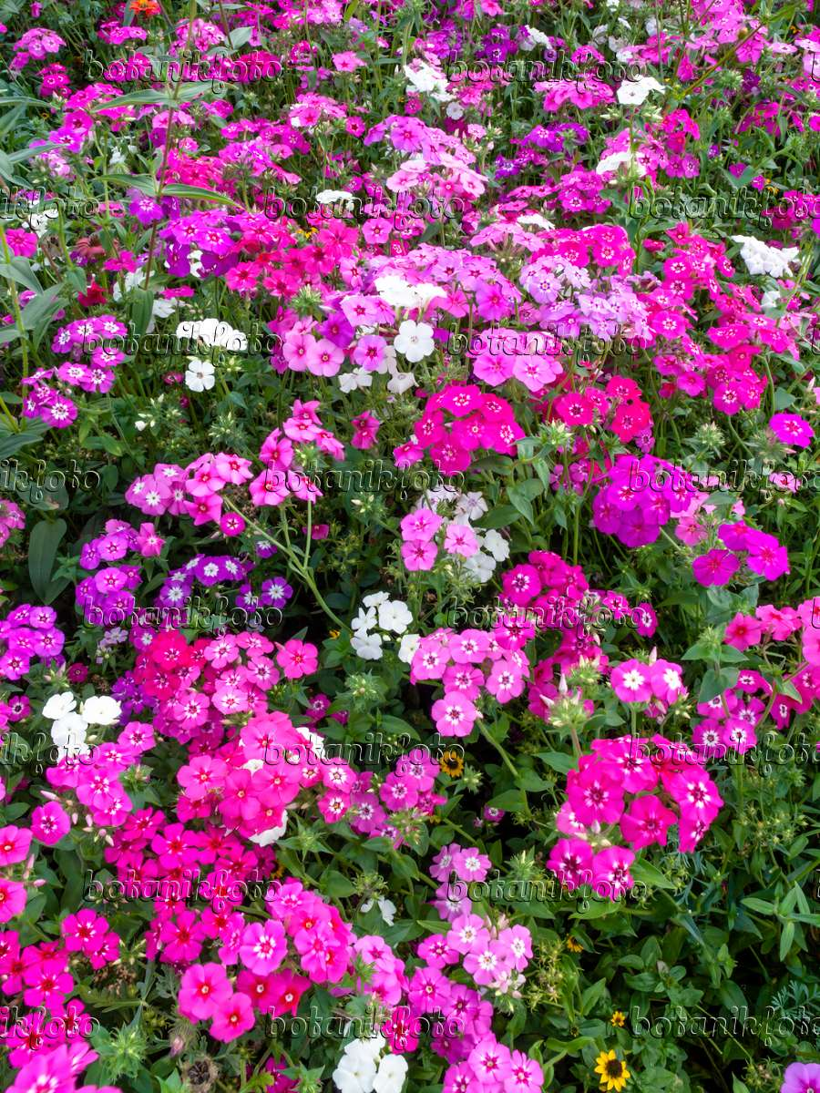image annual phlox phlox drummondii 428315 images and videos of plants and gardens. Black Bedroom Furniture Sets. Home Design Ideas