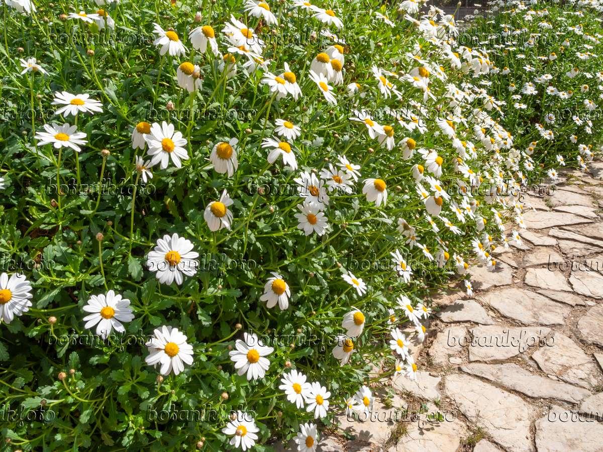 Image Argyranthemum Pinnatifidum Subsp Succulentum