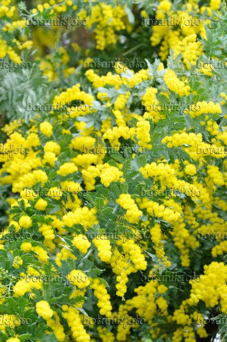 Image Baileys Wattle Acacia Baileyana 467036 Images And