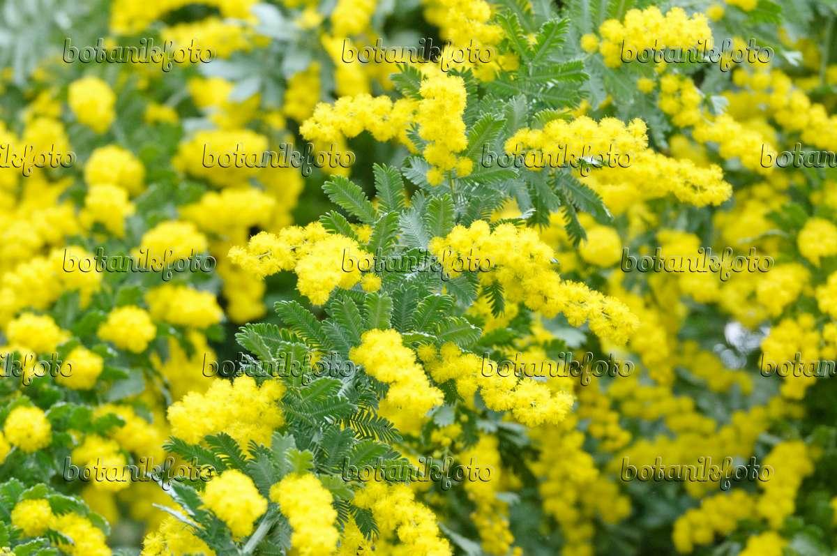 Image Baileys Wattle Acacia Baileyana 467037 Images And
