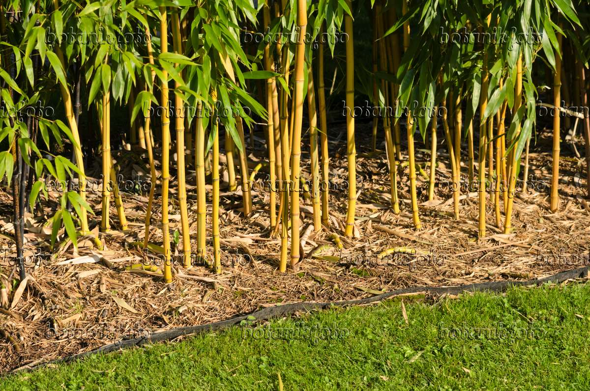 image bamboo phyllostachys aureosulcata 39 aureocaulis 39 with rhizome barrier 535184 images. Black Bedroom Furniture Sets. Home Design Ideas