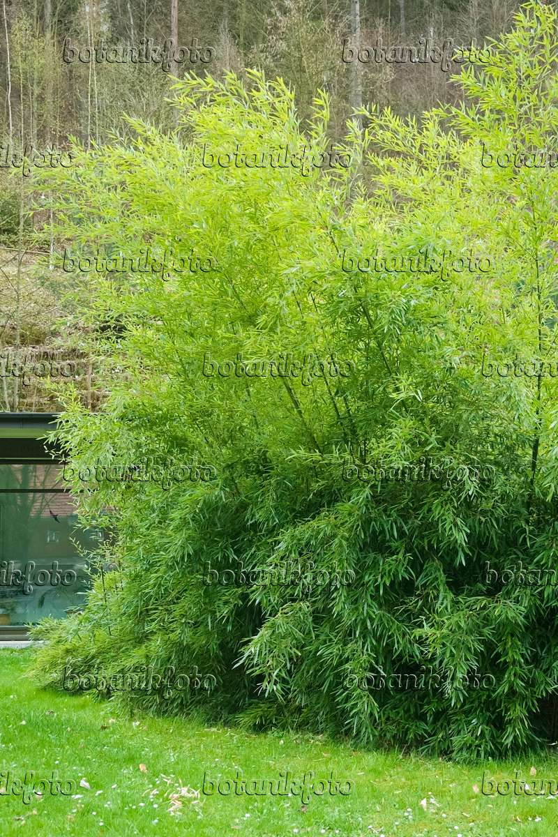 image bamboo phyllostachys bissetii 490106 images. Black Bedroom Furniture Sets. Home Design Ideas