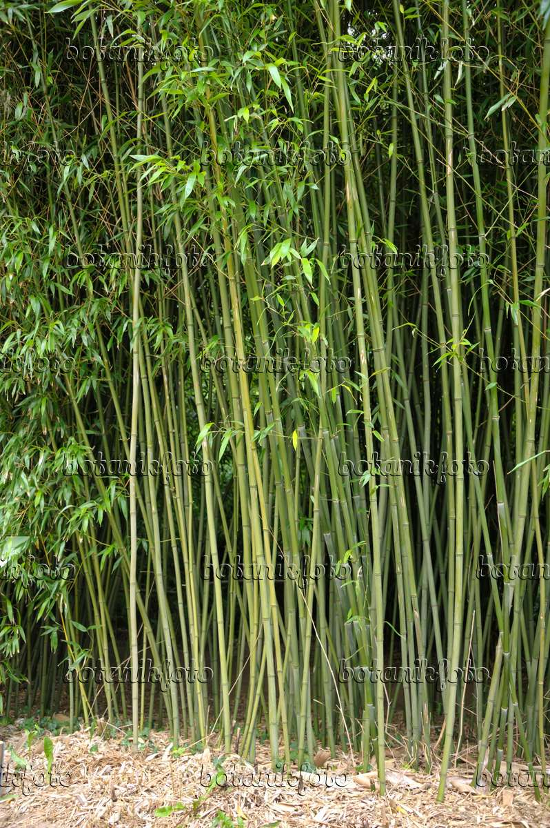 bambus phyllostachys bissetii bambus phyllostachys. Black Bedroom Furniture Sets. Home Design Ideas