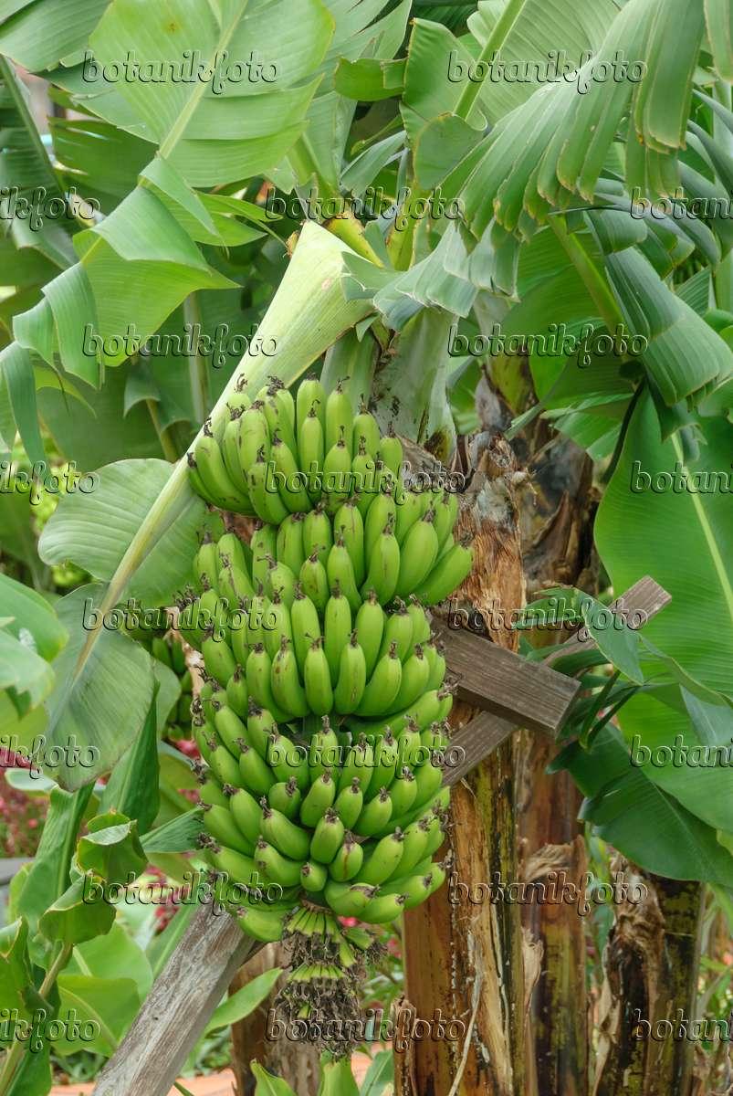 535356 Banana Musa Ainata Dwarf Cavendish