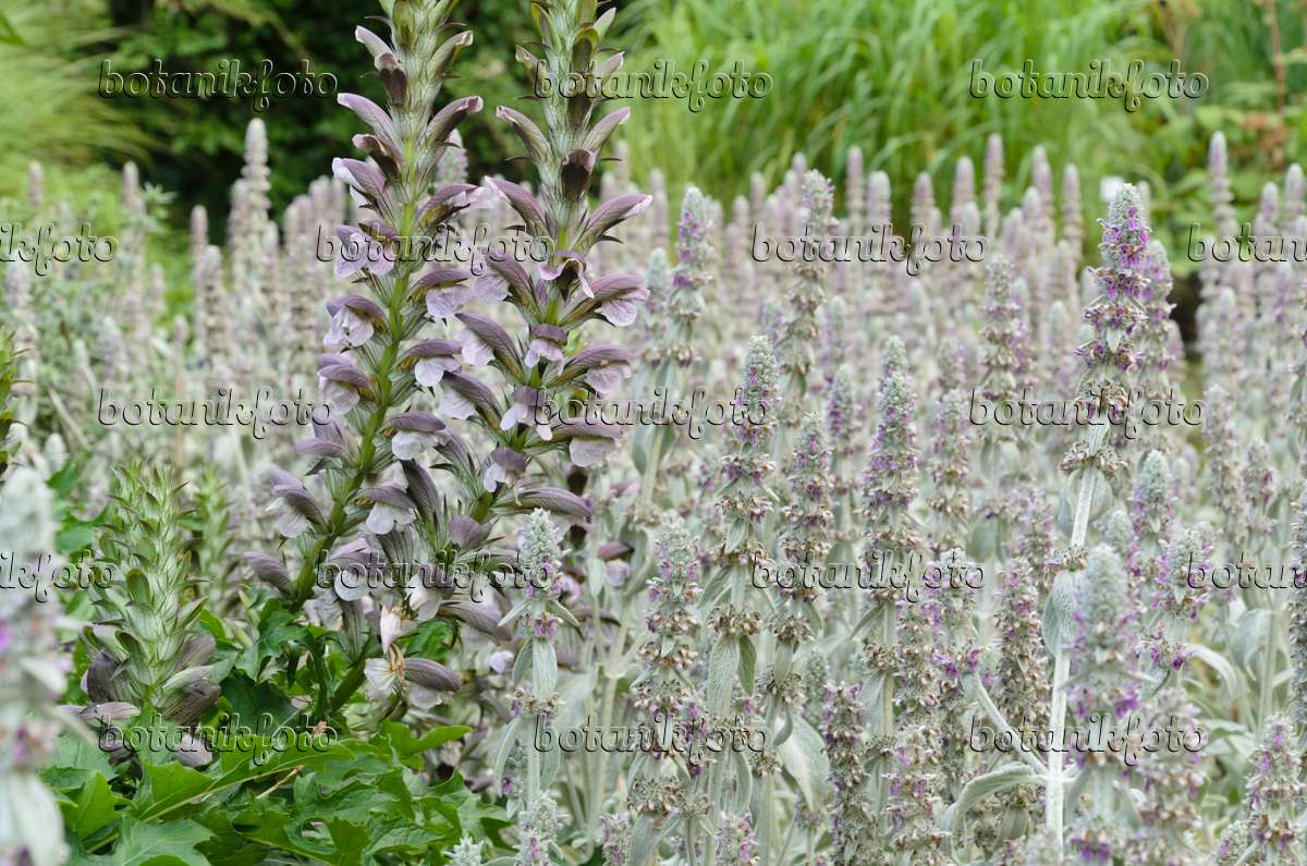 Image Bears Breeches Acanthus Hungaricus And Lambs Ears Stachys
