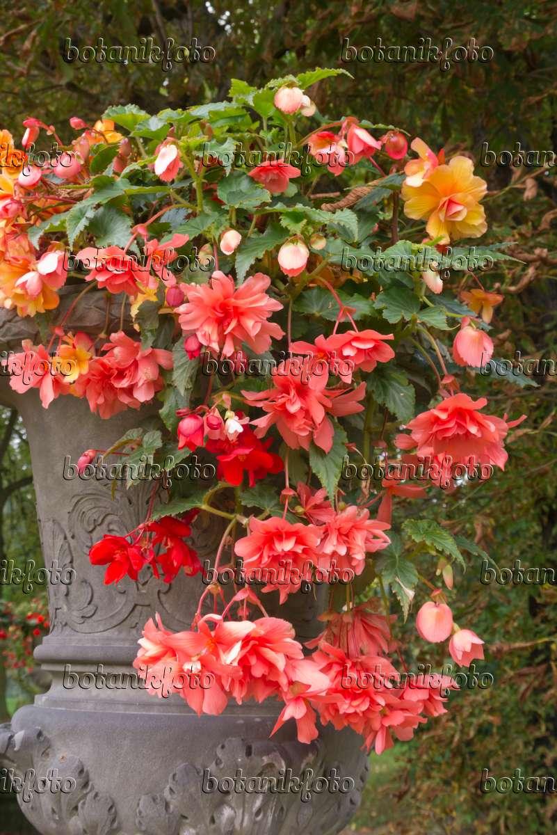 Image Begonia (Begonia) in a flower tub - 573107 - Images and videos ...