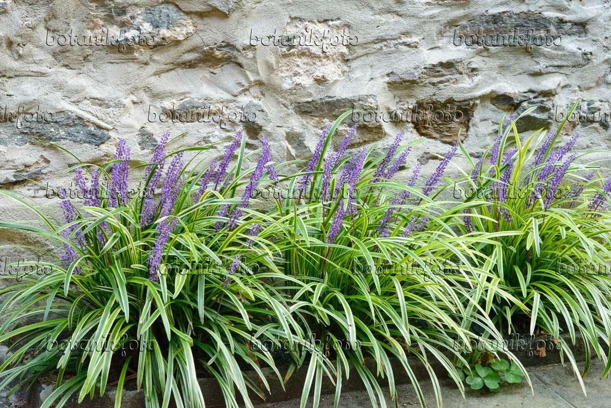 Image Big Blue Lily Turf Liriope Muscari Variegata 545146