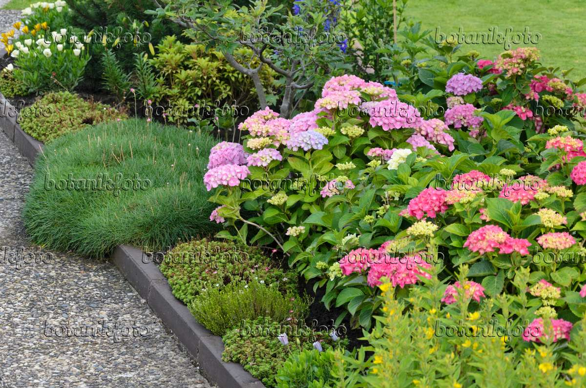 Image Big leaved hydrangea Hydrangea macrophylla