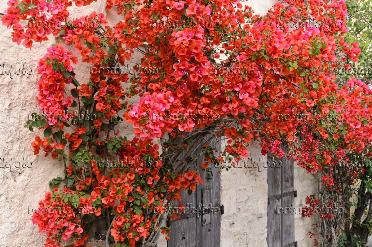 Image Bougainvillea on a house wall - 533130 - Images and ...