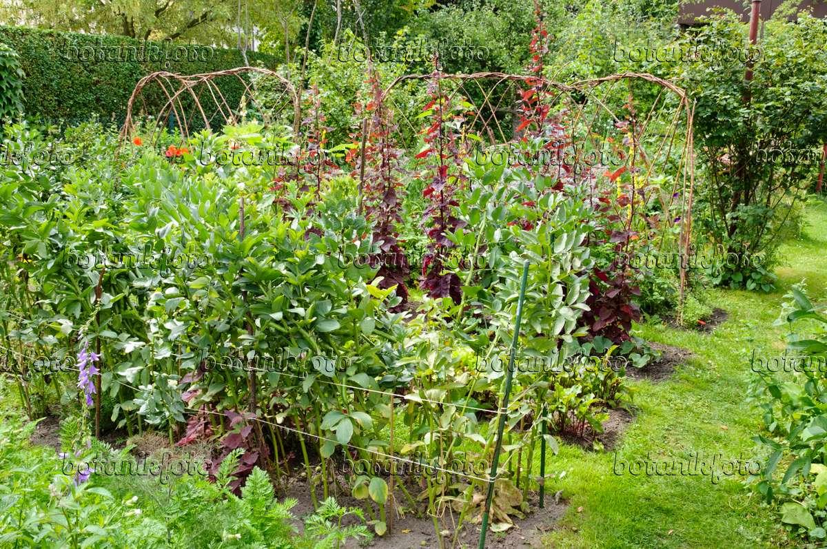 Image Red garden orache (Atriplex hortensis var. rubra) - 428238 ...