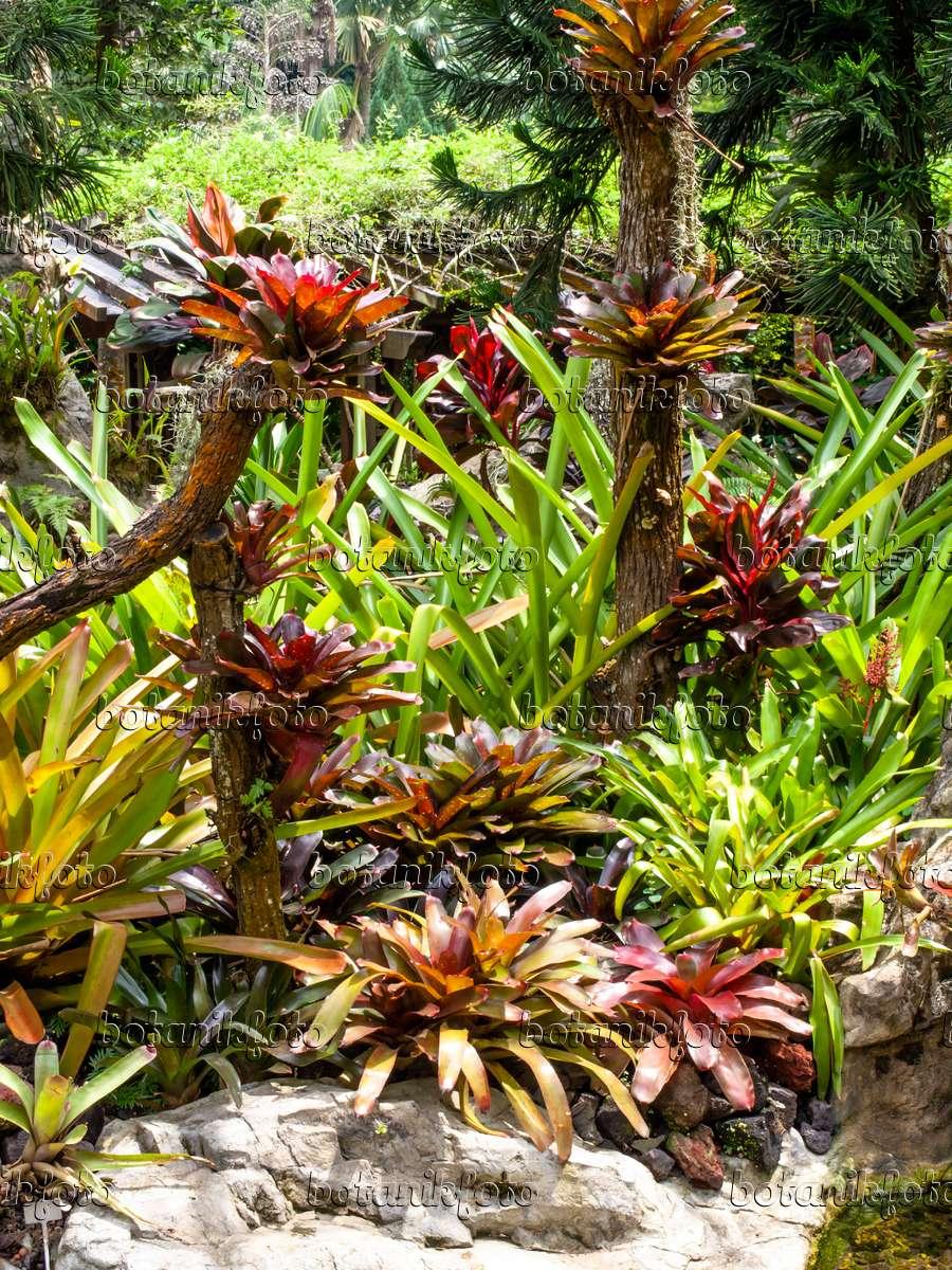 ... 454148   Bromeliad Garden, National Orchid Garden, Singapore