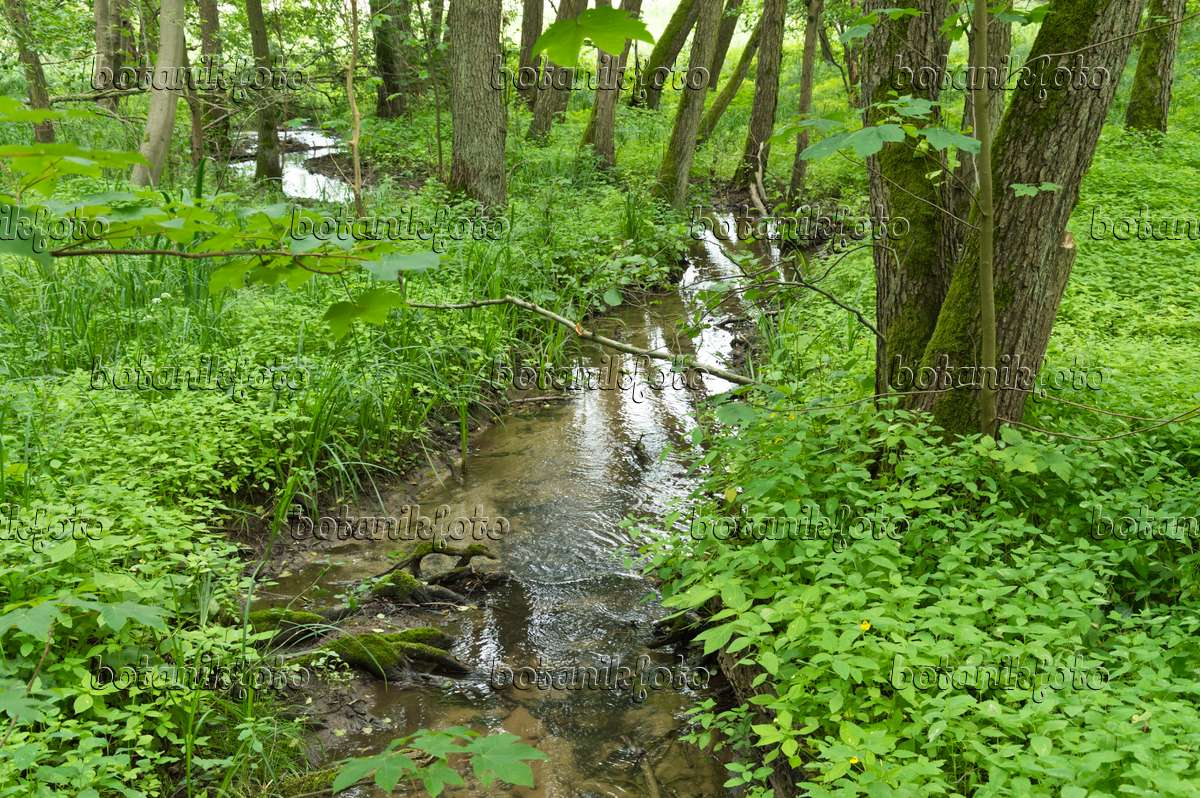 Image Brook in an alluvial forest, Lower Oder Valley National Park ...