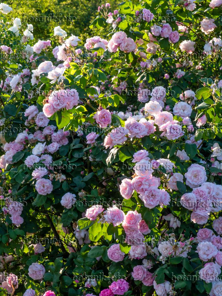image cabbage rose rosa x centifolia 39 fantin latour 39 426205 images and videos of plants. Black Bedroom Furniture Sets. Home Design Ideas