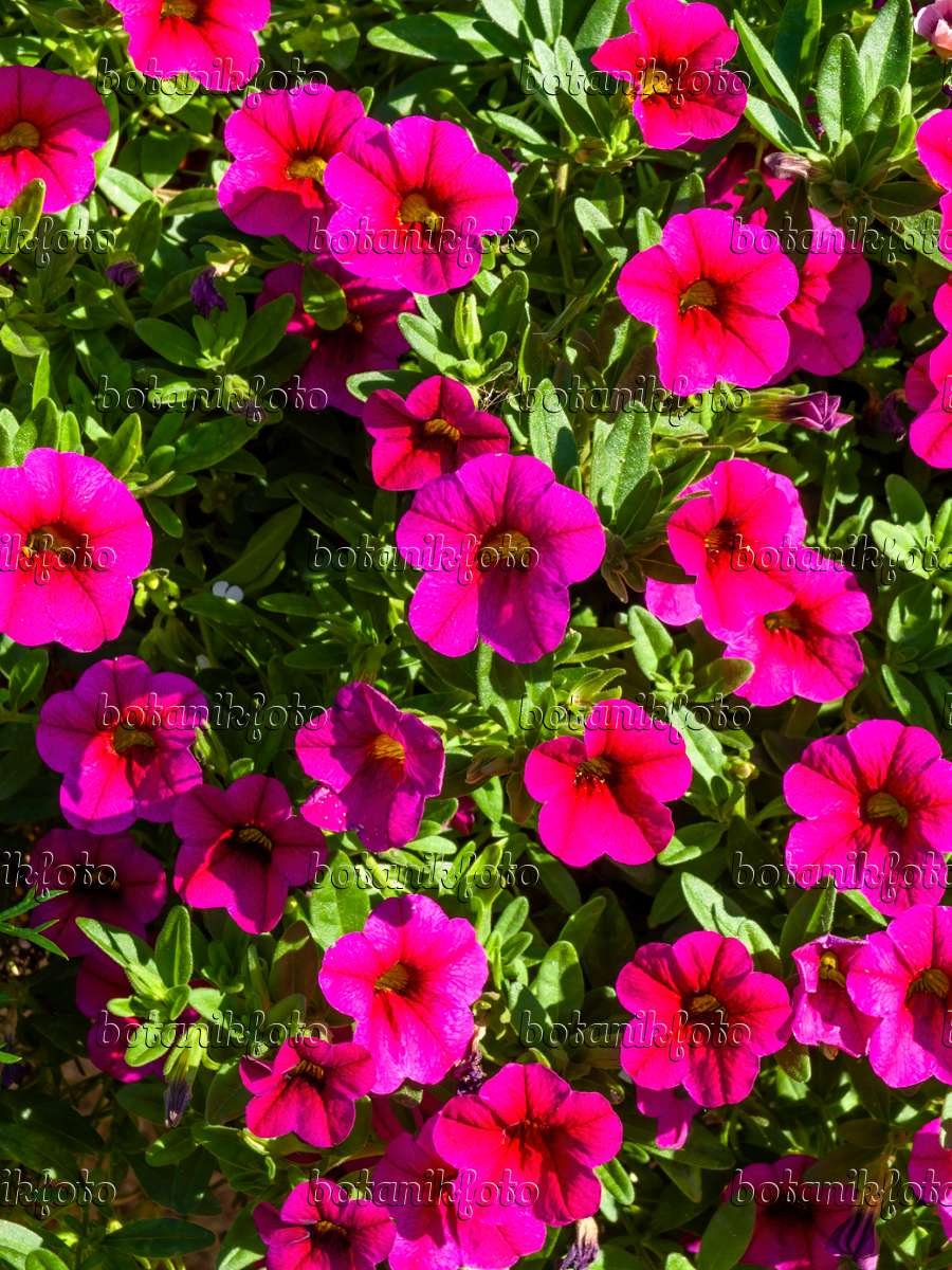 Image calibrachoa superbells magenta 440245 images and - Calibrachoa superbells ...