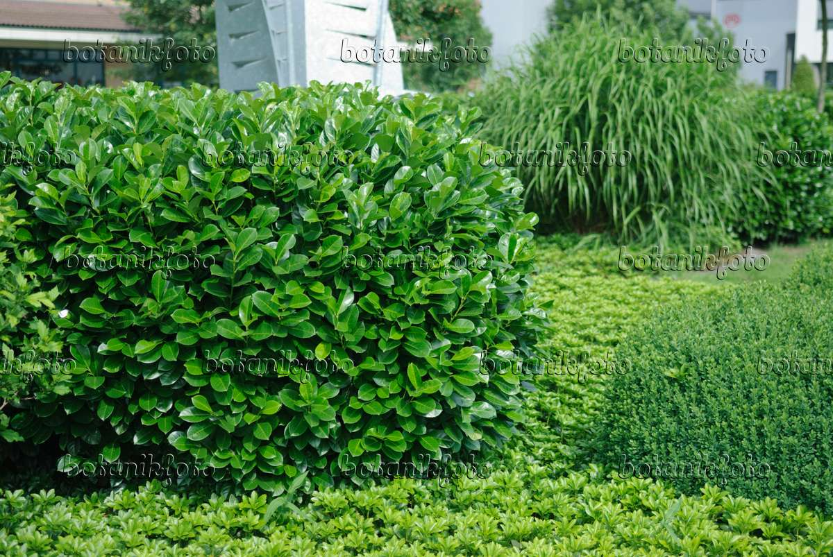 image cherry laurel prunus laurocerasus 39 rotundifolia 39 471446 images and videos of plants. Black Bedroom Furniture Sets. Home Design Ideas