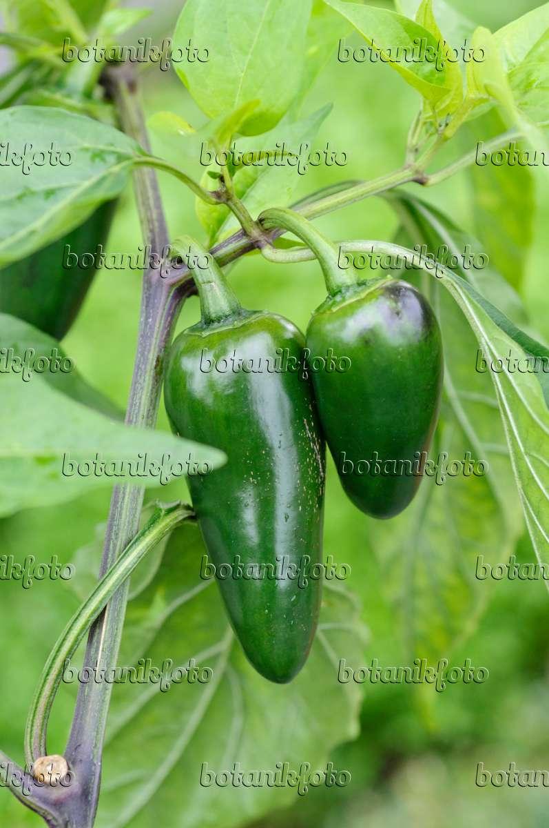 Capsicum Peppers
