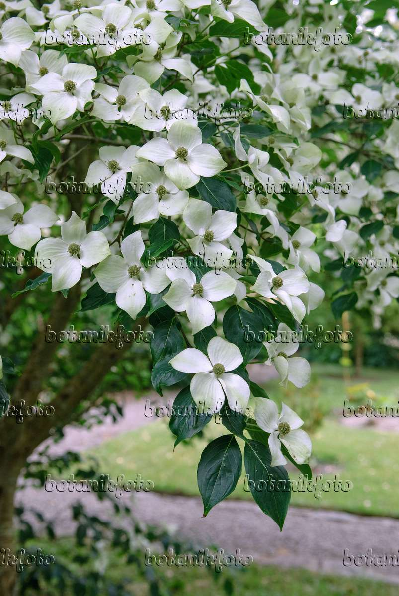 image chinese dogwood cornus kousa var chinensis 526092 images and videos of plants and. Black Bedroom Furniture Sets. Home Design Ideas
