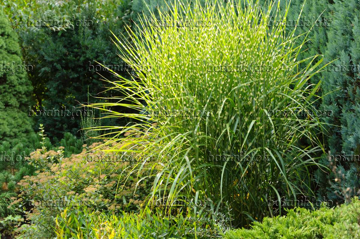 image chinese silver grass miscanthus sinensis 39 strictus. Black Bedroom Furniture Sets. Home Design Ideas